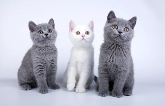 White British Shorthair between two blue British Shorthairs