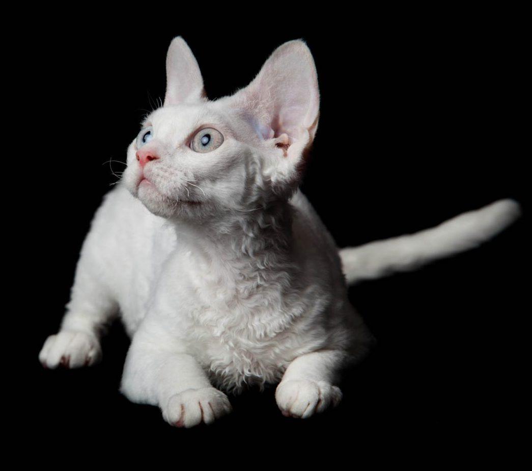 White Devon Rex