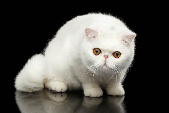 White Exotic Shorthair