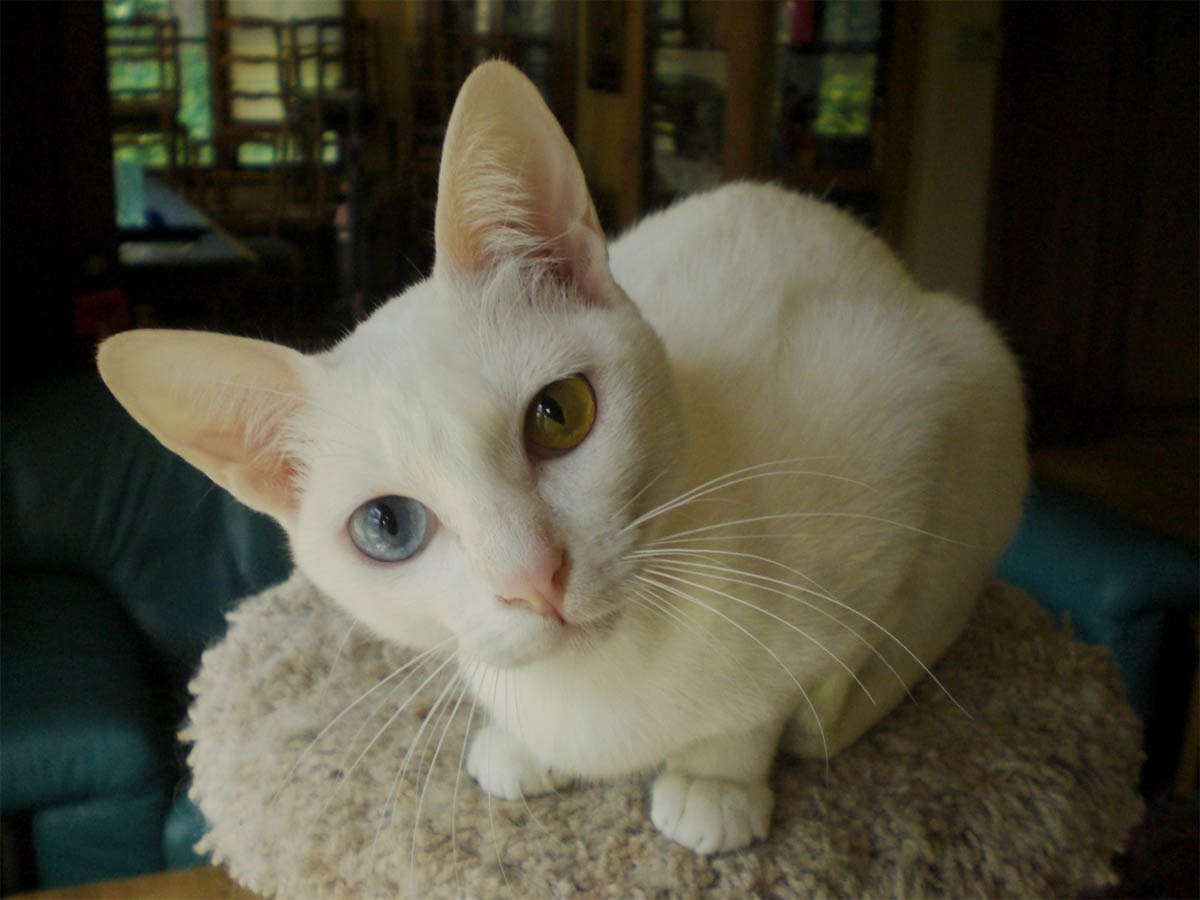 White Khao Manee cat