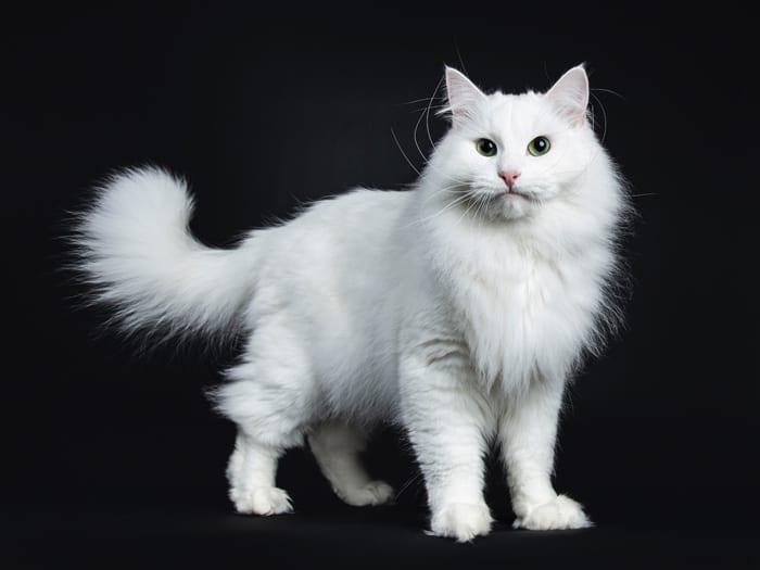 White Siberian cat