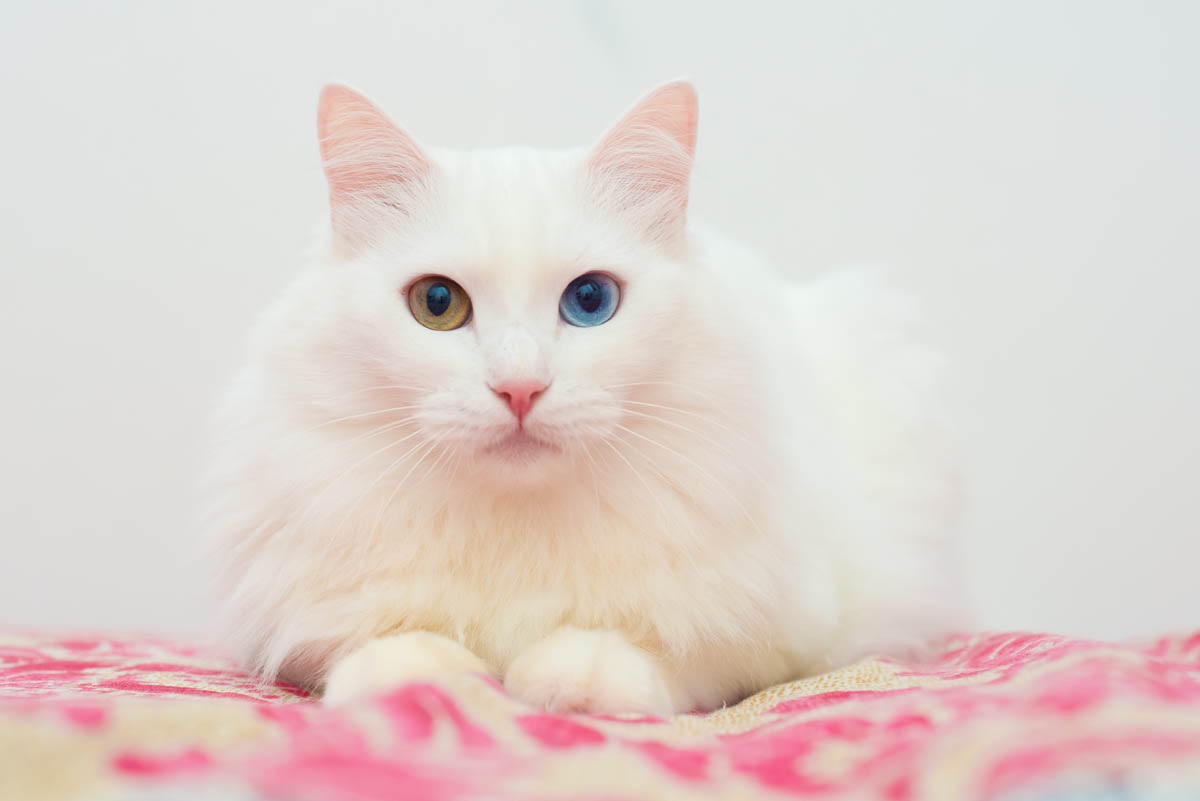 White Turkish Angora