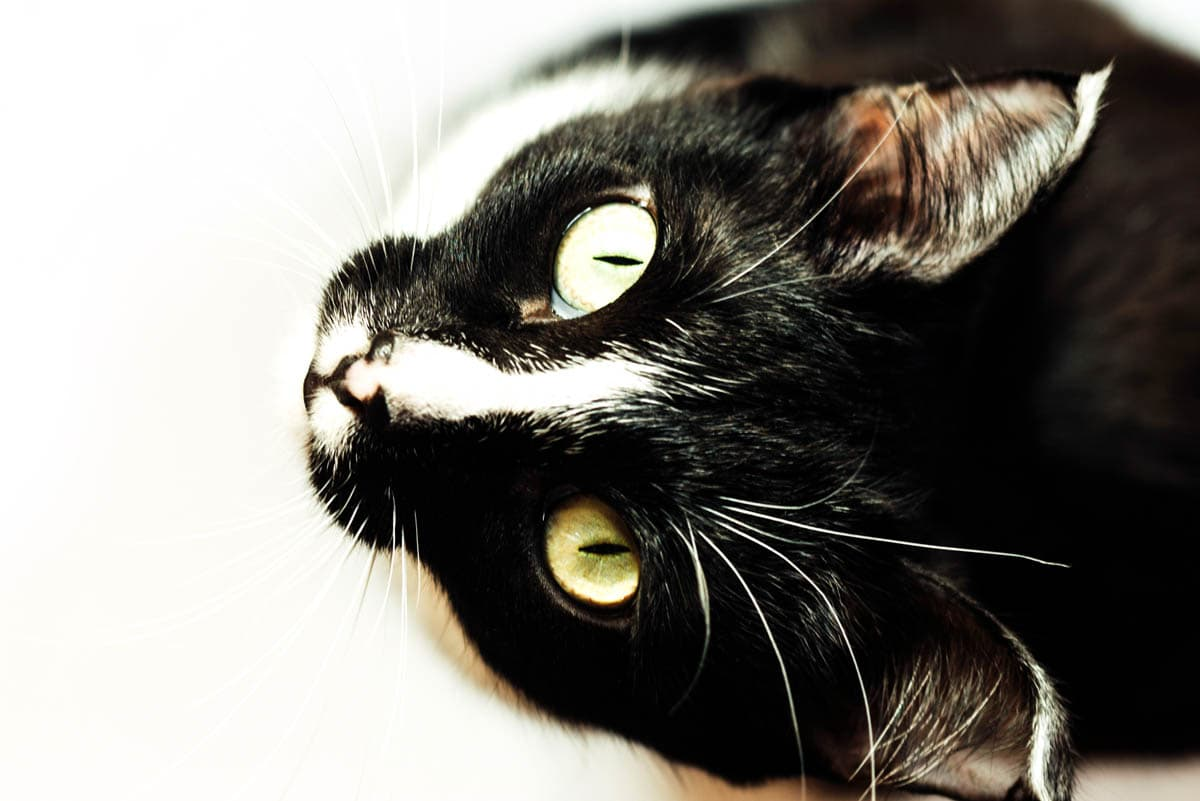 Why do cats have elliptical pupils?