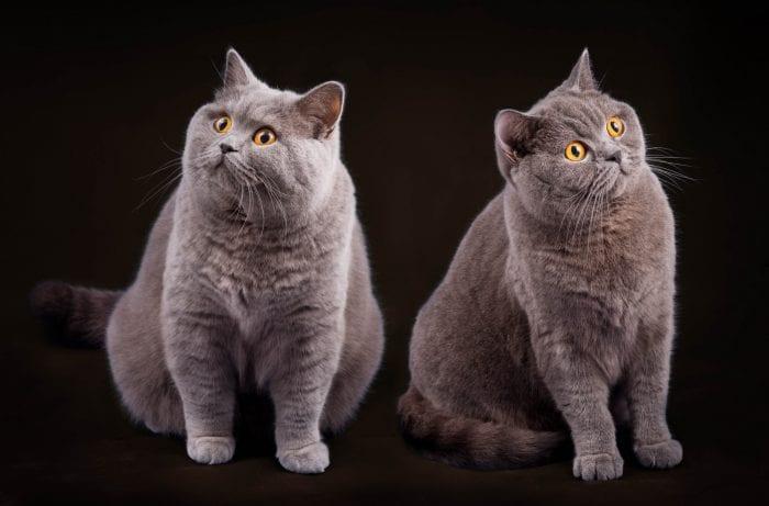 Blue British Shorthair cats