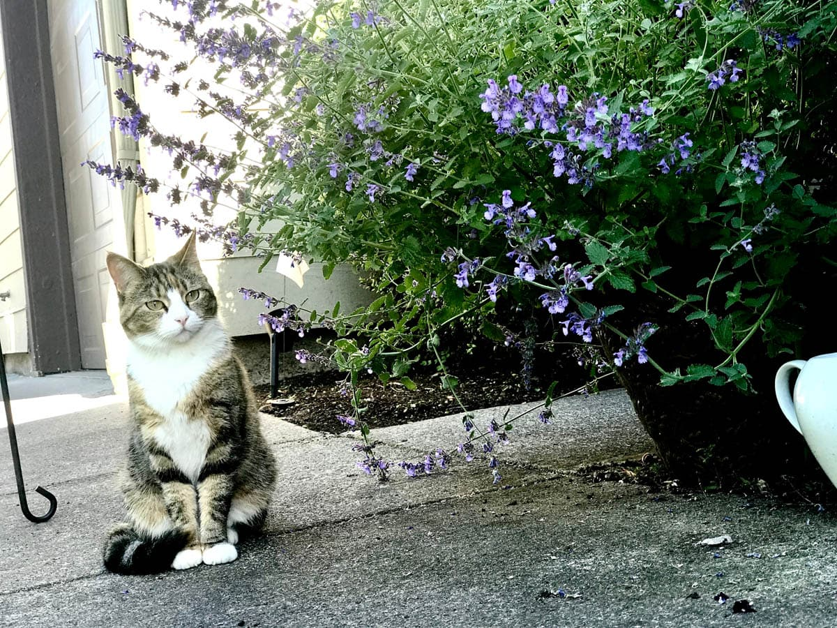 Cat next to catnip plant