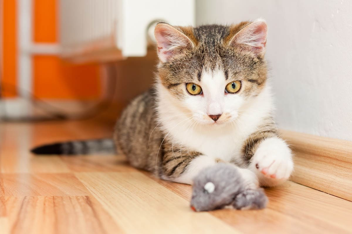 Young cat playing with toys