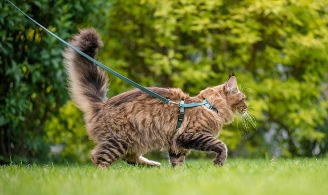 Cat walking on harness