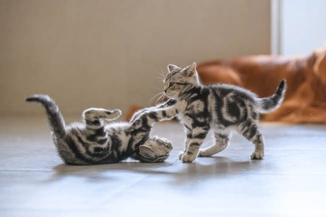 Cats playing together