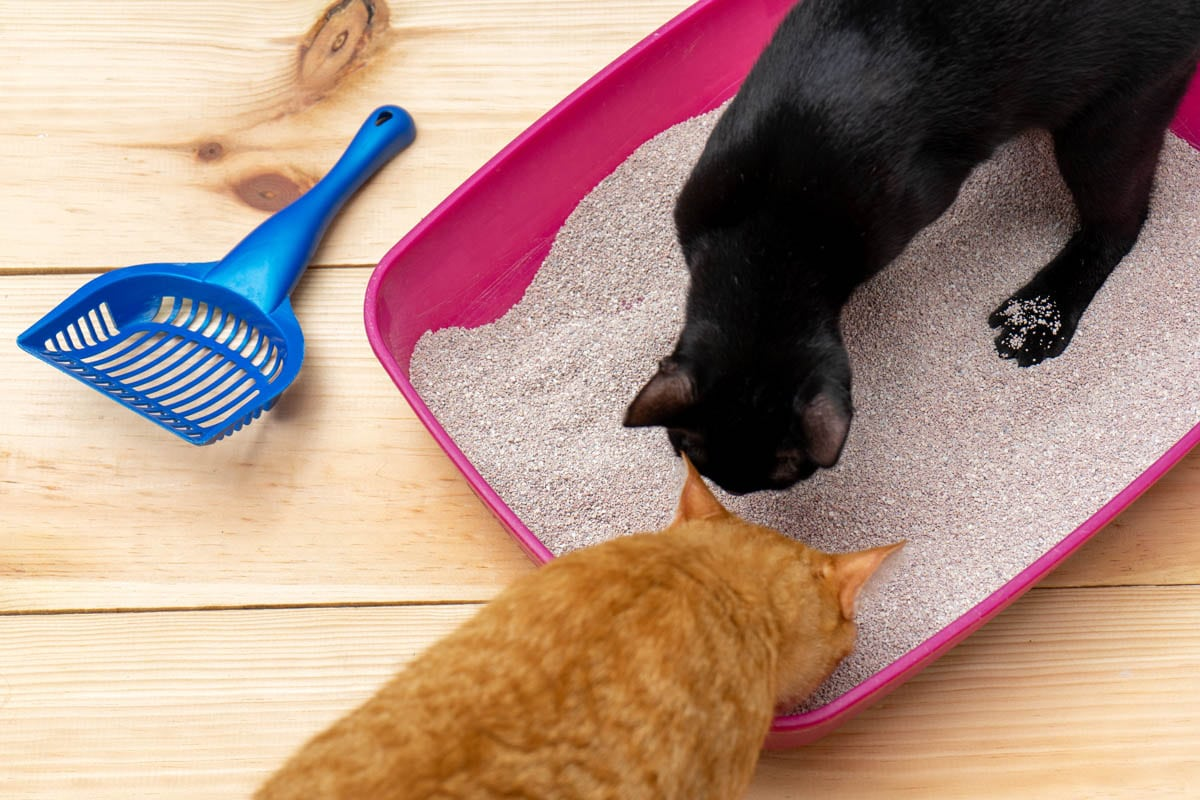 Cats using a litter tray
