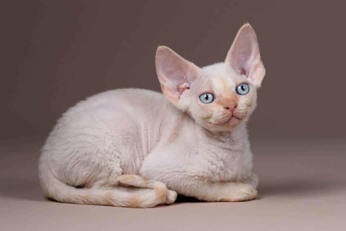 Flame point Devon Rex kitten
