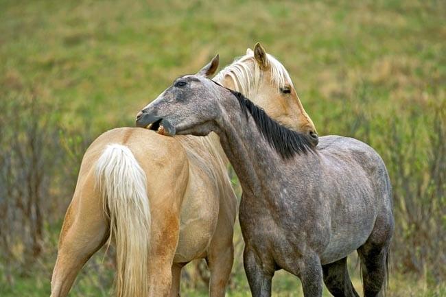 Horses allogrooming