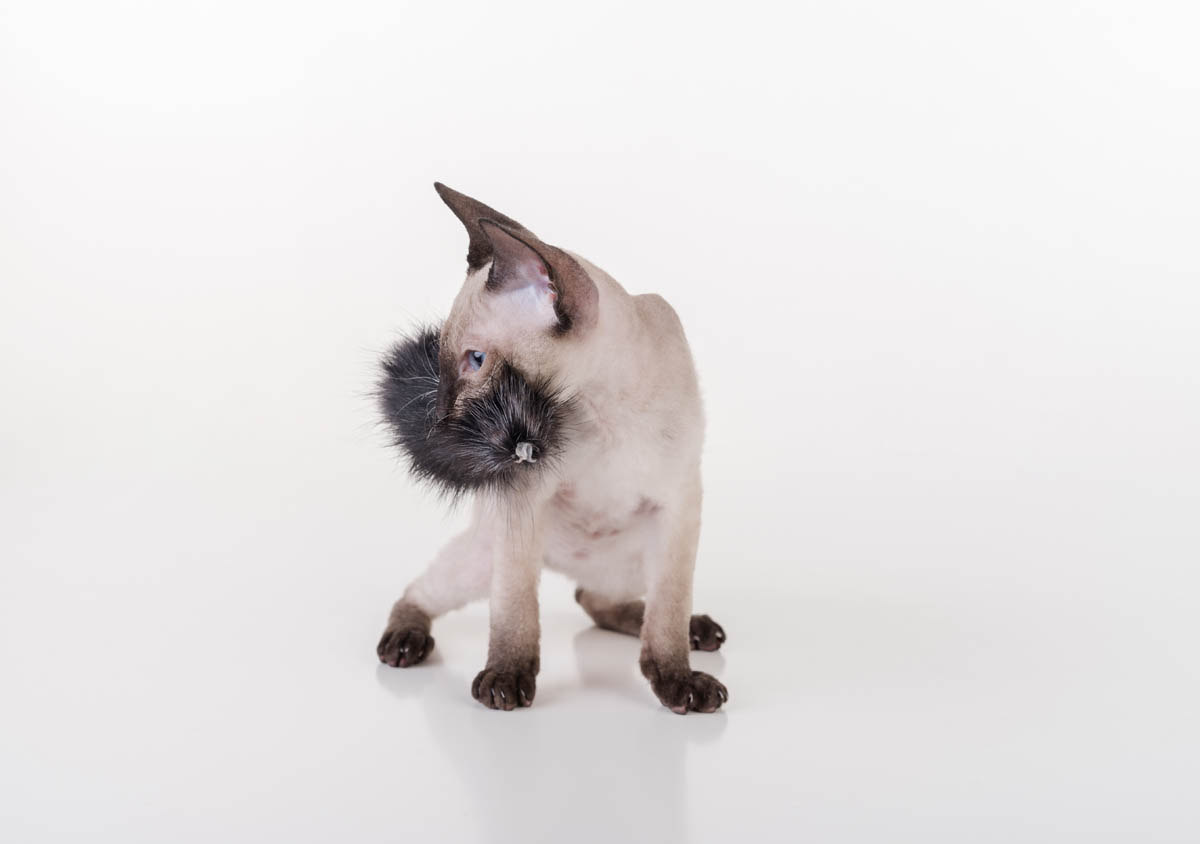 Siamese kitten with a toy in its mouth