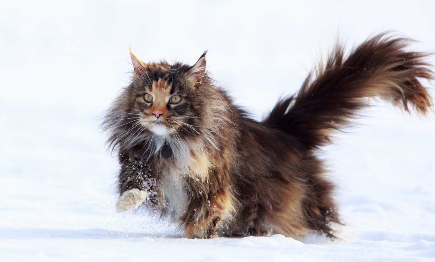 Maine Coon in the snow