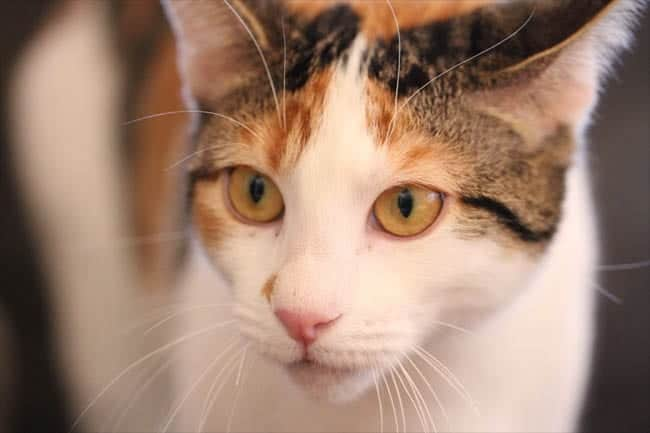 Melody, calico domestic shorthair