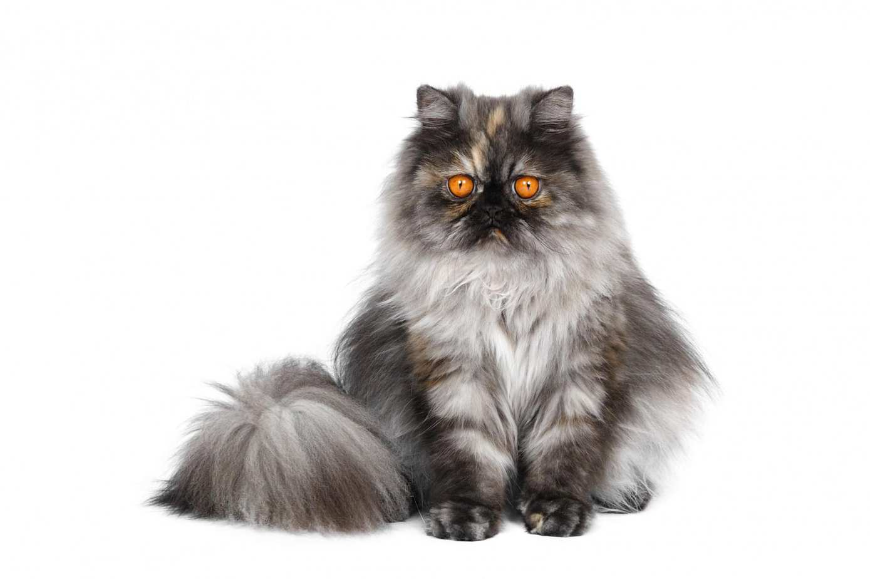 Black smoke Persian cat
