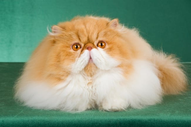 Red and white Persian cat
