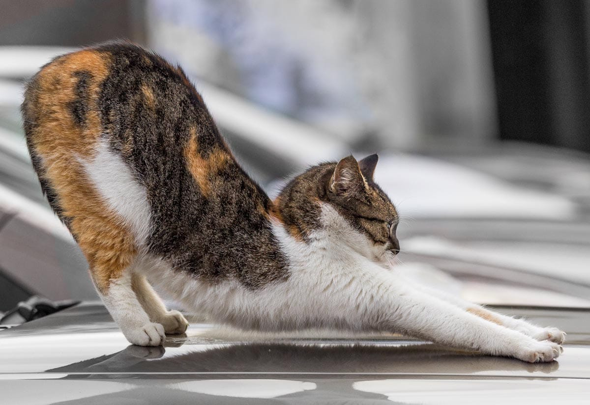 Why are cats so stretchy?