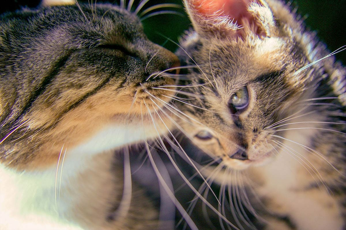 Why do cats lick each other?