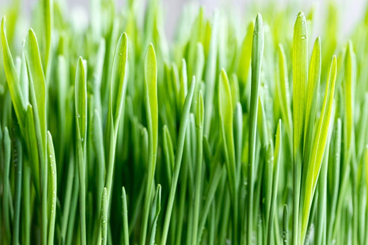 Hordeum vulgare - Barley