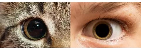 Dilated pupils in a cat and a person