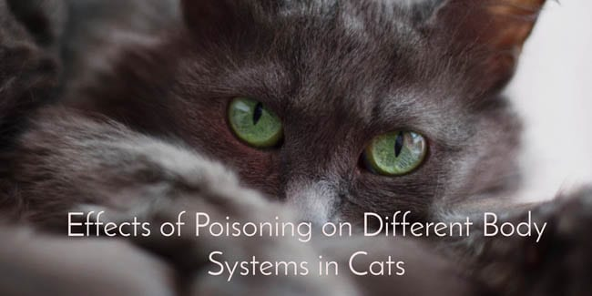 Effects of poisoning on different body systems in cats