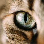 Foreign Body in a Cat's Eye - How Is It Treated?