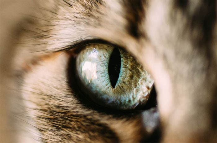 Foreign body in a cat's eye