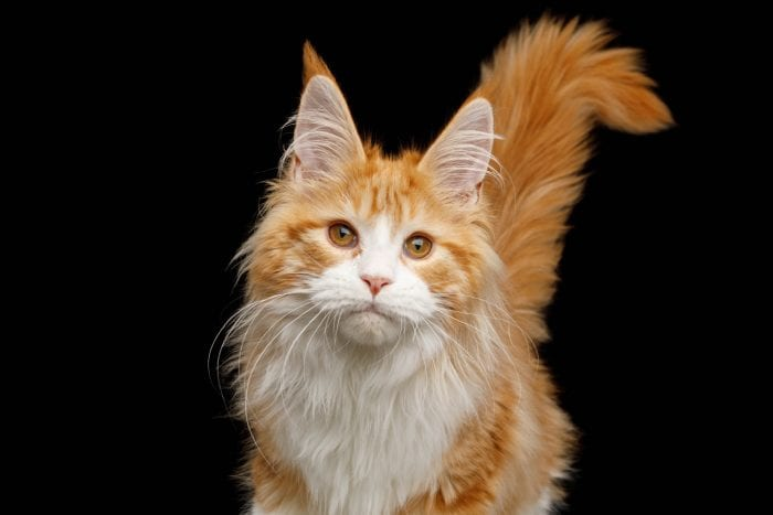 Red and white Maine Coon