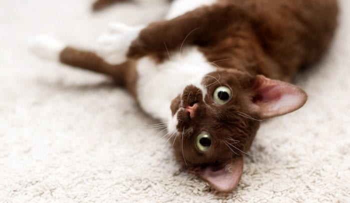 Brown and white Devon Rex kitten