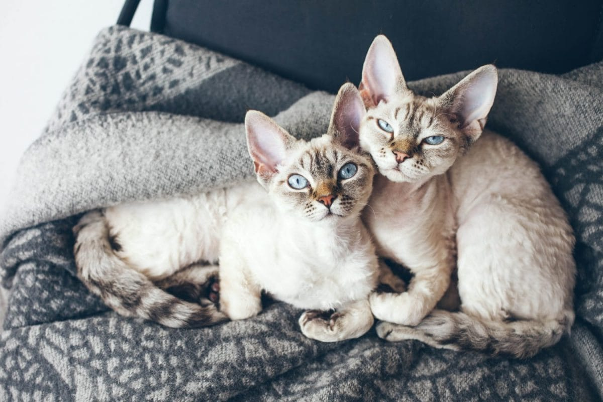 Two Devon Rex kittens