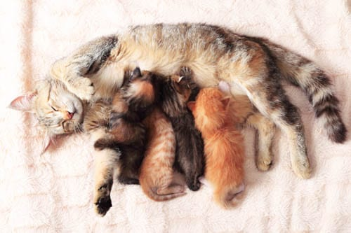 Kittens nursing from their mother