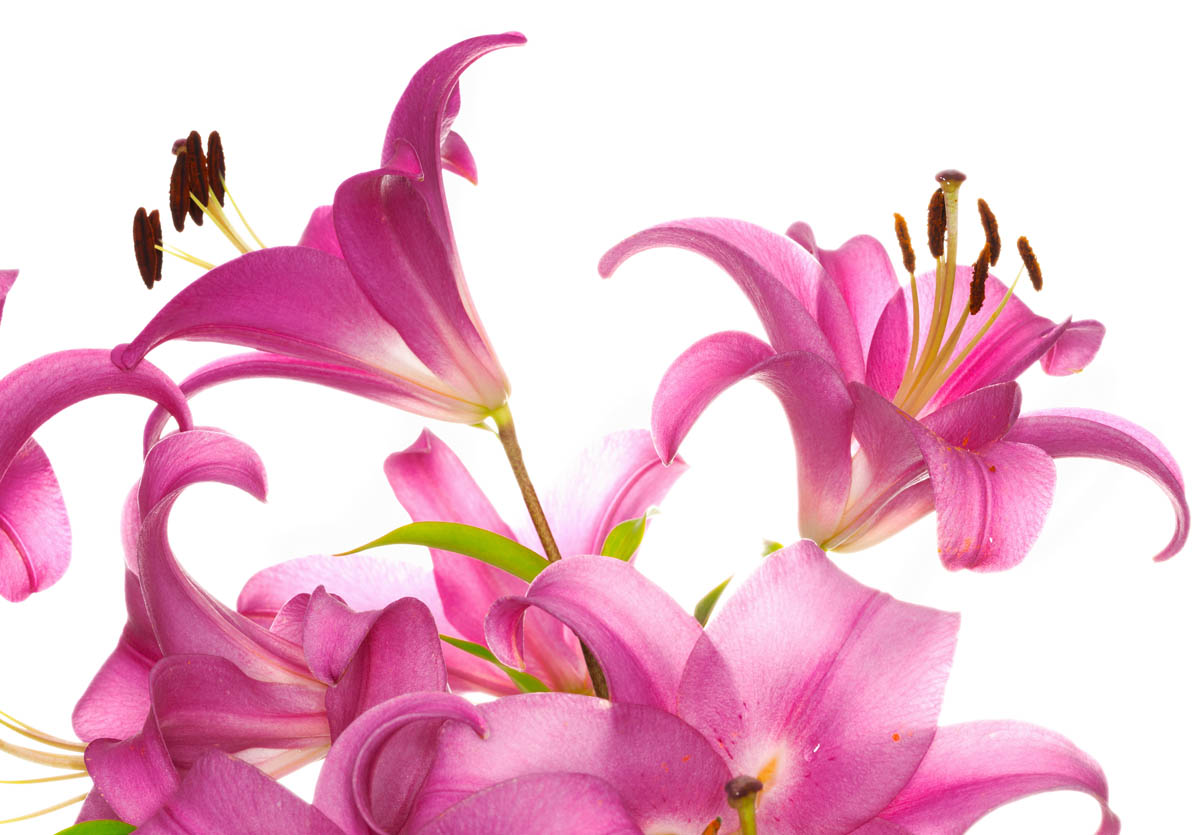 Lilies are toxic to cats