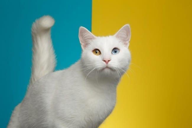 Odd-eyed white cat