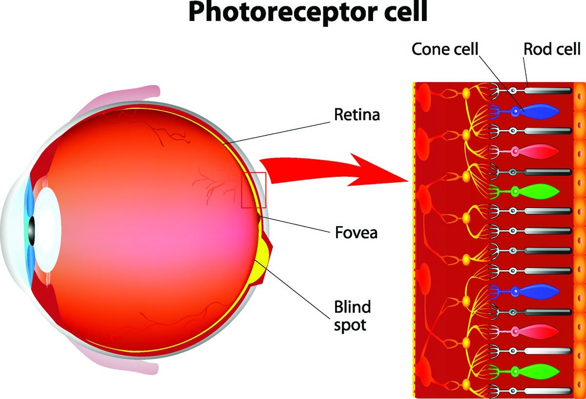 Photoreceptor cells of the eye