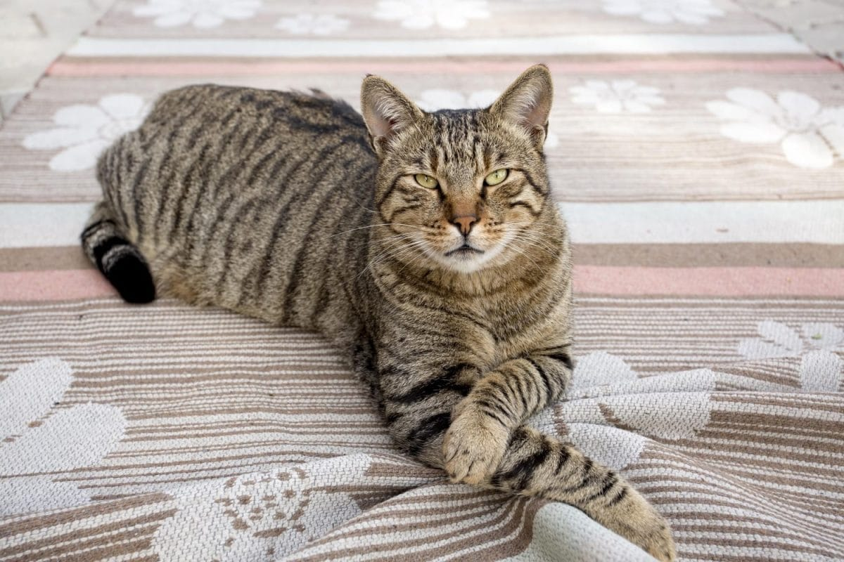 Brown mackerel tabby cat