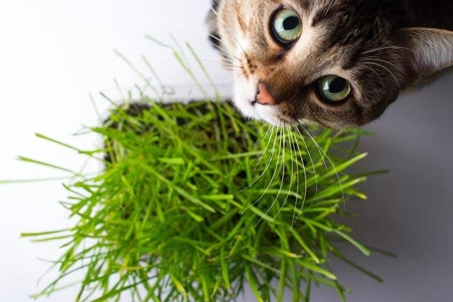 Types of cat grass