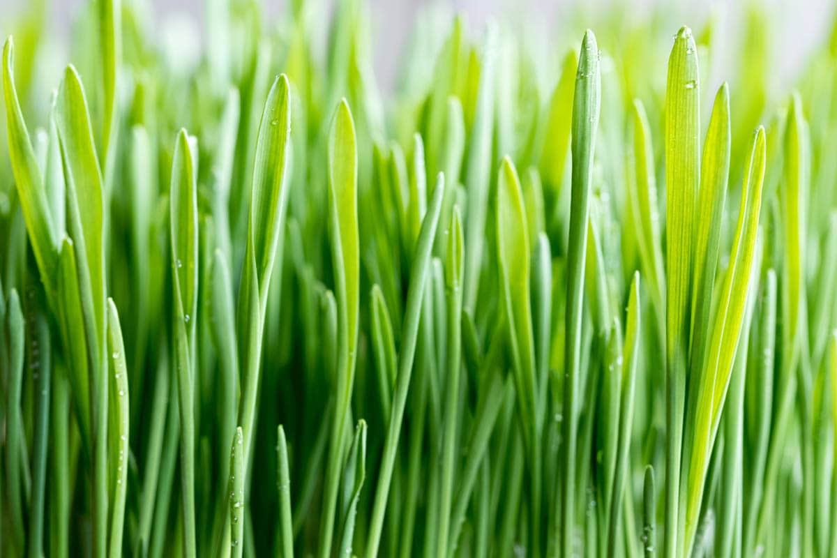 Triticum aestivum - Wheatgrass, common wheat