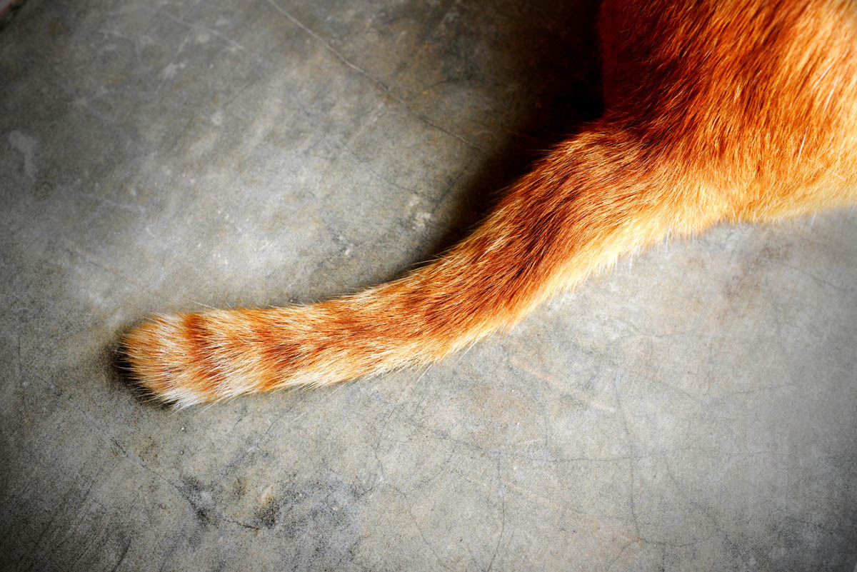 Cat Tail Speak: Understanding Cat Tail Language
