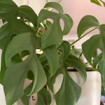 Is Mini Monstera Toxic to Cats?