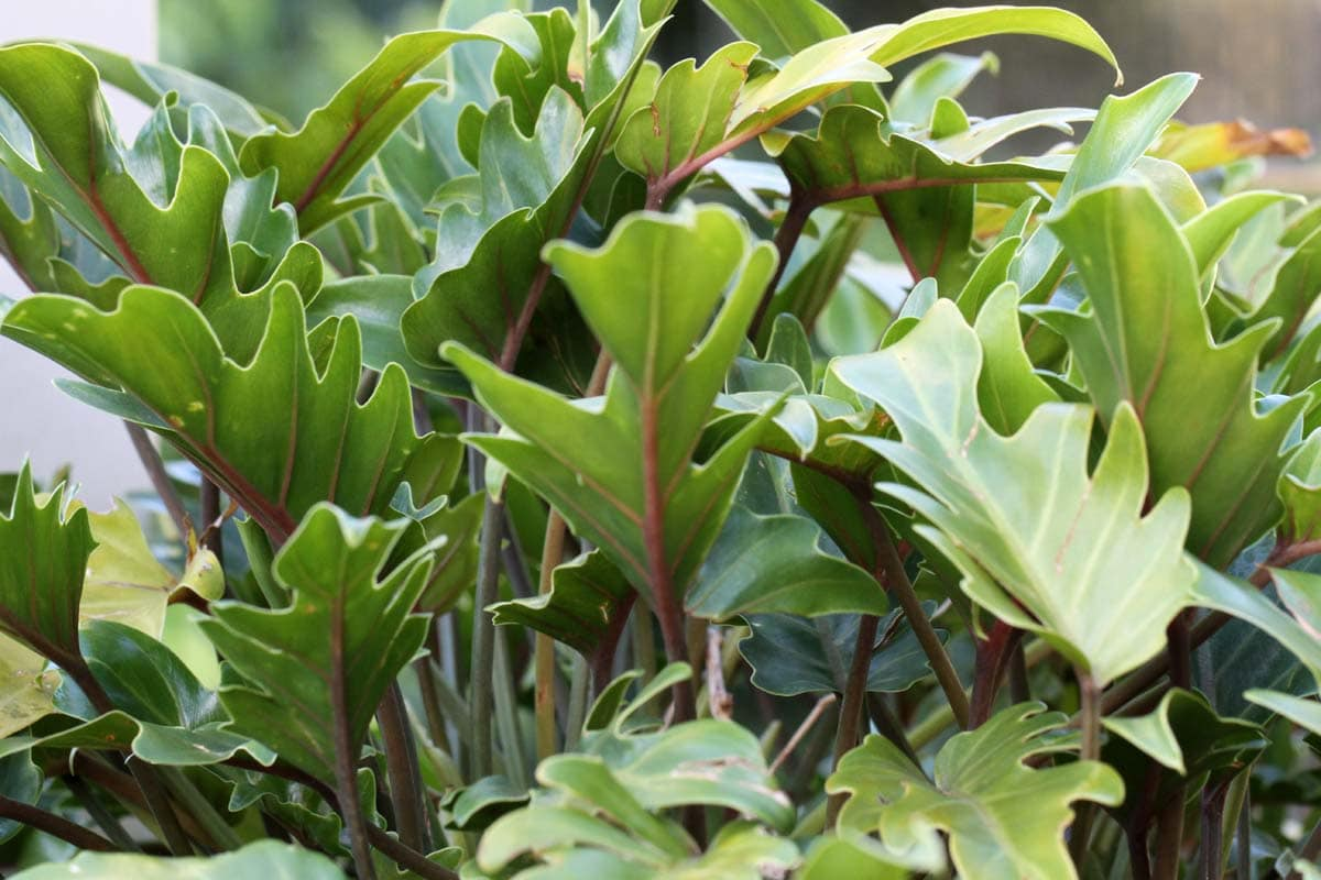 Is philodendron toxic to cats?