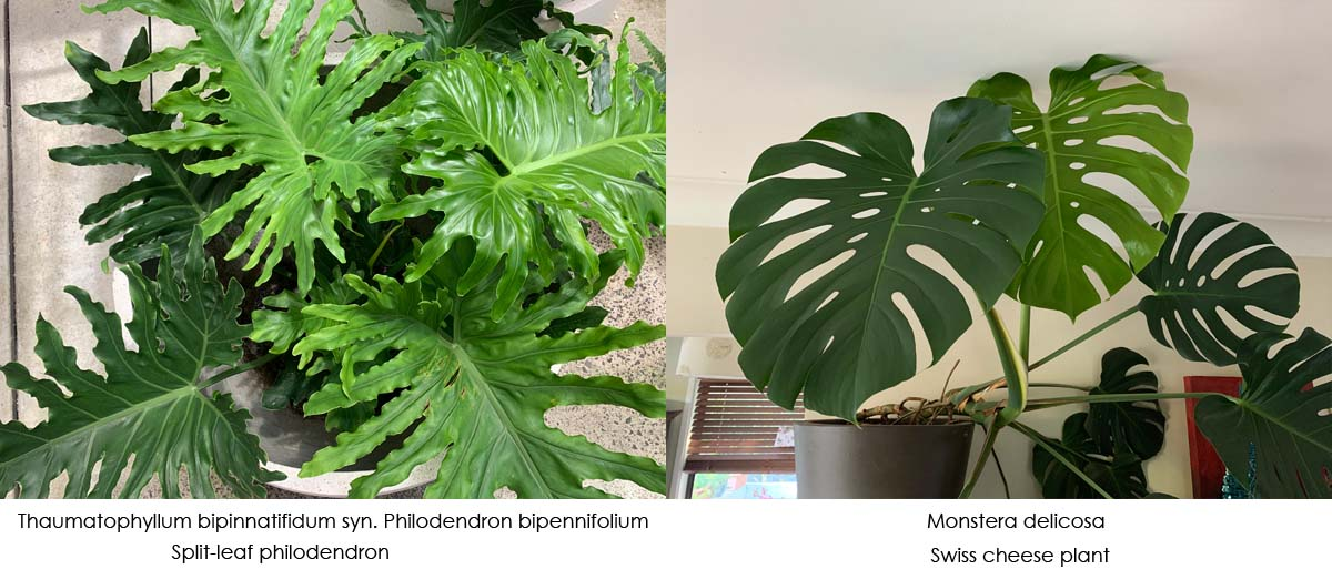 Difference between philodendron and monstera