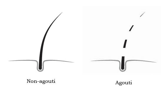 Agouti and non-agouti pattern on hair shaft