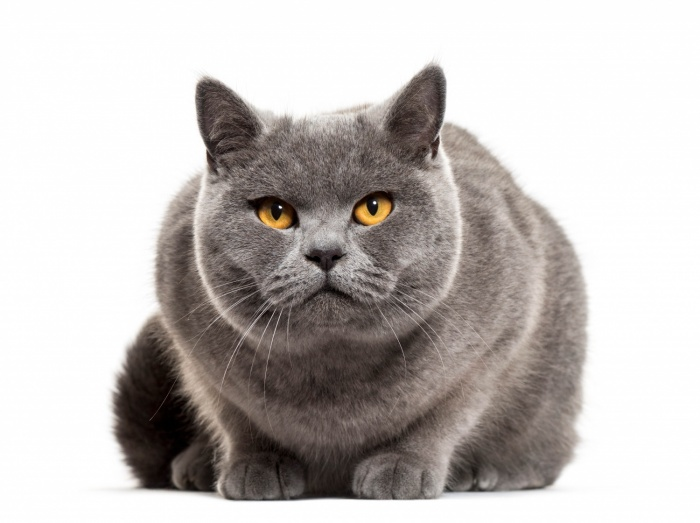 Grey British Shorthair