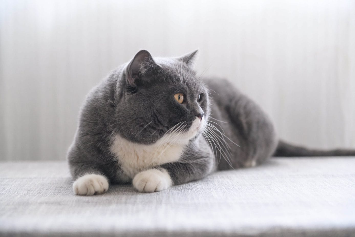 Grey and white bi-colour British Shorthair