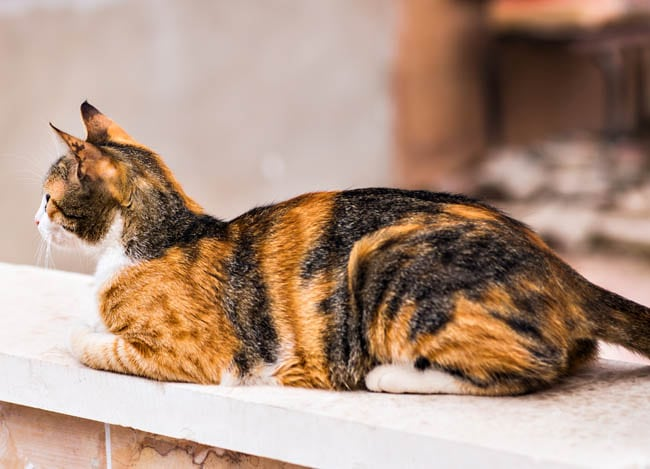 Calico domestic cat