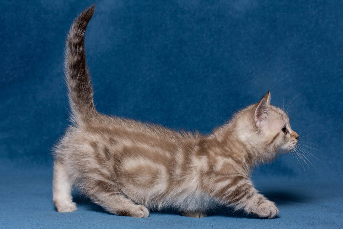 Dilute classic tabby