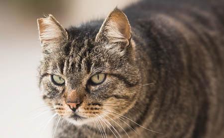 Notch in feral cat's ear