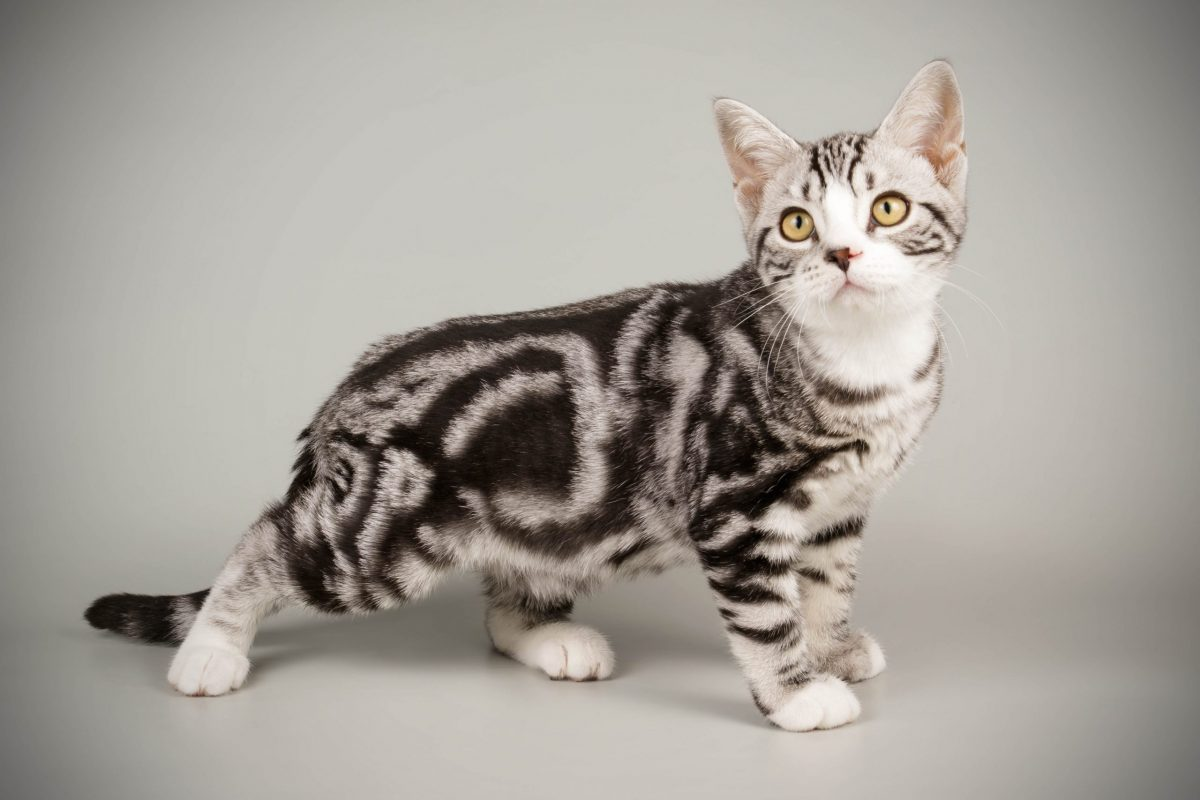 What is a classic tabby?