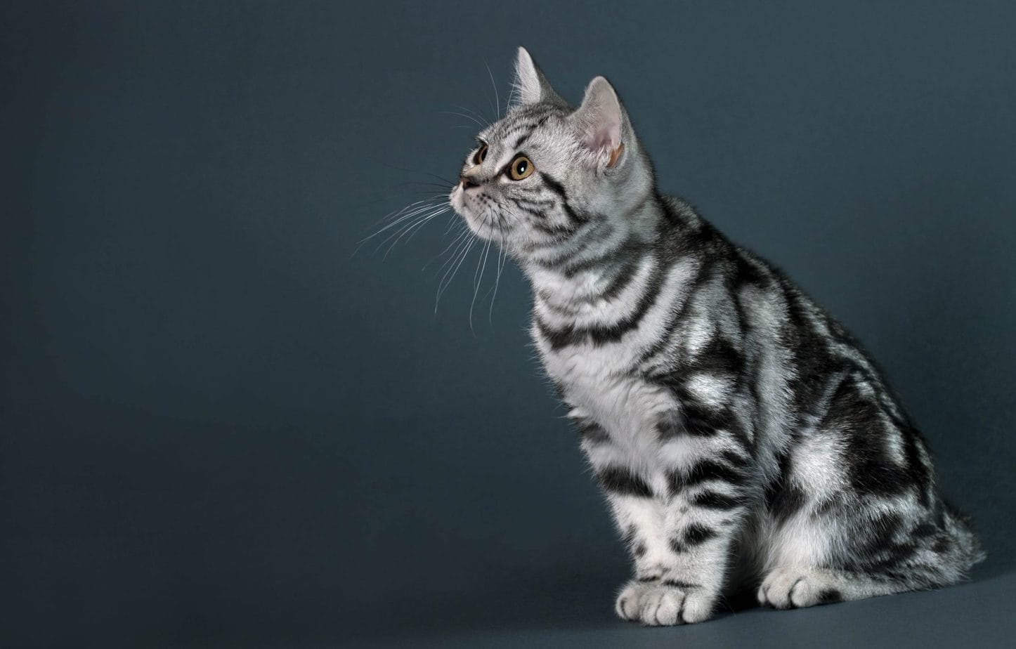 Tabby Cat Photos 1