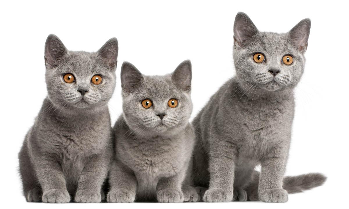 Grey British Shorthair kittens